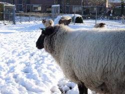DSC07805 schapen