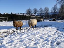 DSC07806 schapen