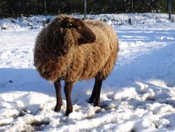 DSC07807 schapen