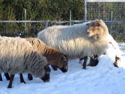 DSC07809 schapen