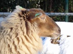 DSC07811 schapen
