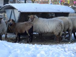 DSC07821 schapen