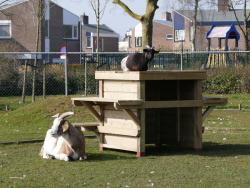 Lees meer: Nieuw klimhuis voor de geiten